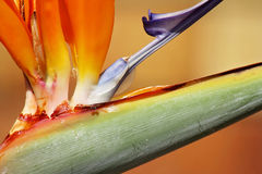 Bird of paradise flower Stock Images
