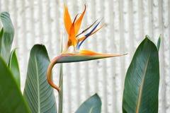Bird of Paradise Flower. Close-up of Bird of Paradise Flower, Taken in Florida Royalty Free Stock Images