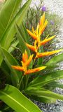 Bird of paradise flower color yellow. In home Royalty Free Stock Image