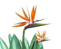 Bird of Paradise Flower. 3d illustration of bird of paradise flower Stock Photography
