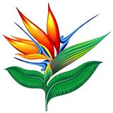 Bird of Paradise Flower, Exotic Botanical Vector illustration, Strelizia Stock Photo