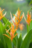 Bird of paradise flower Stock Photography