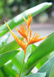 Bird of paradise flower on green background Stock Image