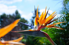 Bird of paradise flower on green background Royalty Free Stock Images