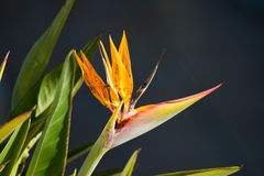 Bird of Paradise flower, of the Heliconia species Stock Photography