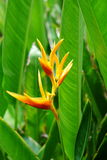 Bird of Paradise Flower with leaf background Stock Photography