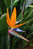 Bird of paradise flower of Madeira Island, Portugal Stock Image