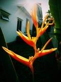 Bird of paradise. Flower Bird of paradise in my garden Stock Images
