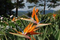 Bird of paradise flower Royalty Free Stock Photos