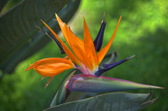 Bird of Paradise. Flower orange purple maui tropical hawaii colorful beautiful Royalty Free Stock Images