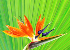Bird of paradise flower with palm leaf background Stock Images