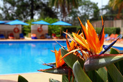 Bird of Paradise Flower at the Poolside. A bird of paradise flower plant seen beside a luxurious blue pool royalty free stock image