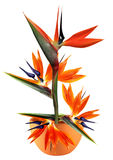 Bird of paradise flower in pot Royalty Free Stock Image