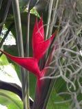 Bird Of Paradise Flower. A Red Bird Of Paradise Flower & x28;Strelitzia& x29 Royalty Free Stock Photography