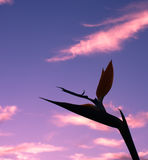Bird of Paradise Flower silhouette. A bird of paradise tropical flower in silhouette against a sunset sky Stock Images