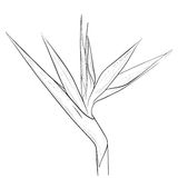 Bird of Paradise flower in sketch style Royalty Free Stock Photos