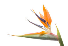 Bird of paradise flower (Strelitzia) Royalty Free Stock Photos