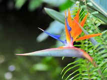 Bird of paradise flower (Strelitzia) Royalty Free Stock Photography