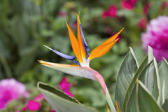 Bird of paradise flower (strelitzia) Stock Images