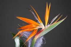 Bird of paradise flower (strelitzia) Stock Images