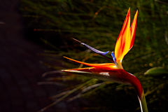 Bird of paradise flower. Strelitzia or bird of paradise flower in glowing colours against natural dark background Stock Photos