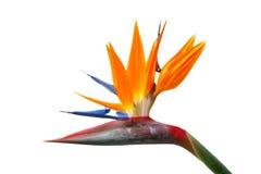Bird of Paradise flower, Strelitzia Stock Photography