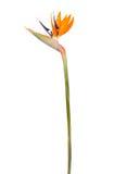 Bird of Paradise Flower ( Strelitzia reginae ). Crane or Bird of Paradise Flower ( Strelitzia reginae ) isolated on white background Stock Photos