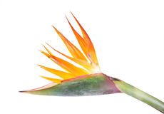 Bird of Paradise flower, Strelitzia reginae Stock Photo