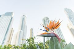 Bird Paradise Flower Strelitzia reginae and modern urban buildings