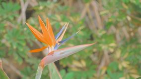 Bird of Paradise flower Strelitzia reginae Tenerife Spain Canary Island stock video