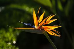 Bird of Paradise Flower Strelitzia Royalty Free Stock Image