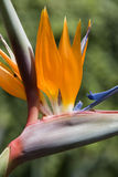 Bird of Paradise Flower (Strelitziaceae). The Bird of Paradise Flower is a southern African species of the Genus Strelitzia Royalty Free Stock Photos