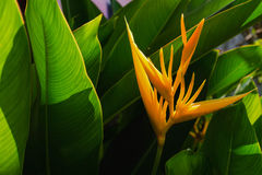 bird paradise flower and sunshine with green leaf Royalty Free Stock Photography