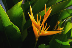 bird paradise flower and sunshine with green leaf Royalty Free Stock Photos