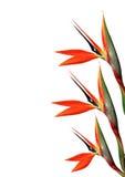 Bird of paradise flower 123 Stock Images