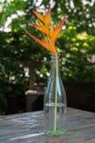 Bird of Paradise. Flower tropical background birds plant nature garden yellow fresh floral beautiful vase glass Stock Image