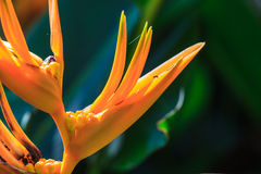 Bird of Paradise flower Royalty Free Stock Photo