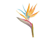 Bird of paradise flower  watercolor  vector Stock Photo