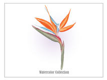 Bird of paradise flower  watercolor  vector2 Royalty Free Stock Image