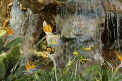 Bird of paradise flower waterfall Stock Photo