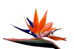 Bird of paradise flower with white background Stock Images