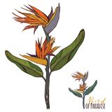 Bird Of Paradise Flowering with Leaves Plant Retro Vintage Style. Bird Of Paradise Flowering with Leaves Plant Clip Art Retro Vintage Style Stock Image