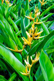 Bird of paradise flowers. Yellow bird of paradise flowers on green background Royalty Free Stock Images
