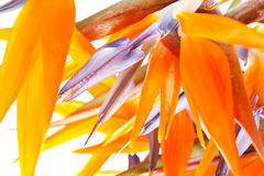Bird of paradise flowers. Closeup Stock Image