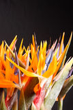 Bird of paradise flowers Stock Images