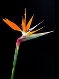 Bird of Paradise Flowers Stock Photo