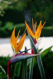 Bird Of Paradise flowers Royalty Free Stock Photography