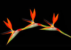 Bird of paradise flowers arching Stock Images