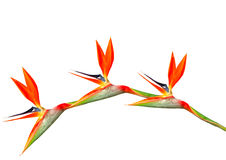 Bird of paradise flowers arching. On a white background HDR Stock Photography