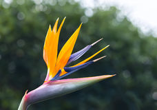 The bird of paradise flowers bloom in the love garden Stock Photos
